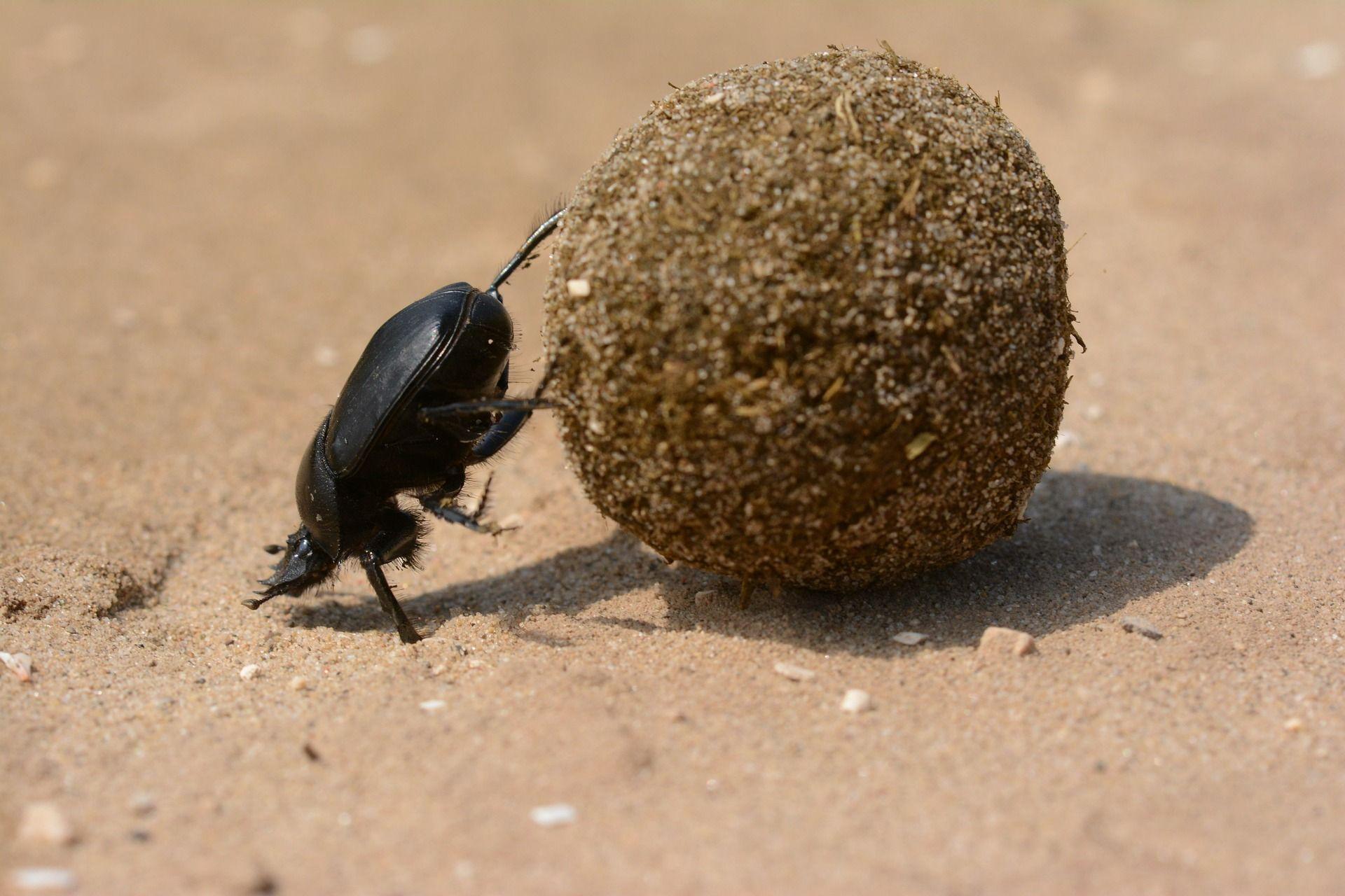 Scarabäus müht sich mit Riesenpille